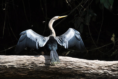 snakebird drying its wings